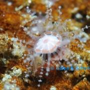 Leaf-crawler Jellyfish (Staurocladia vallentini)
