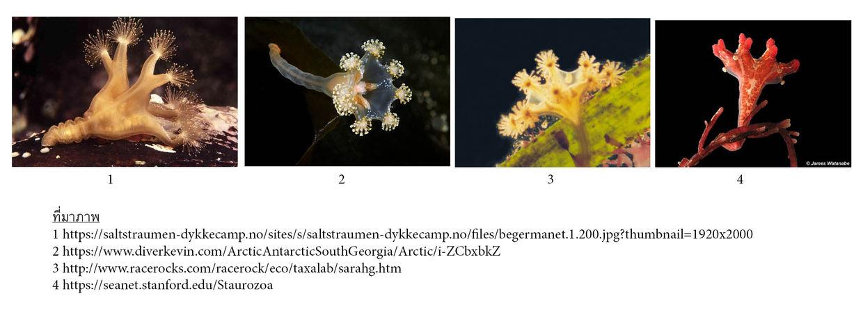 Cnidaria Class Staurozoa
