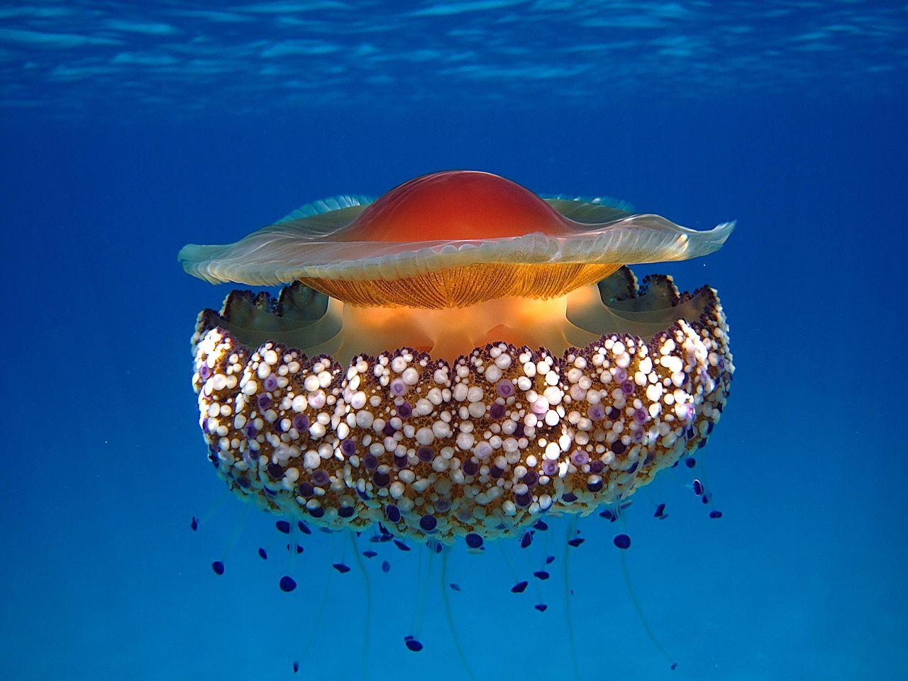 Fried-Egg Jellyfish