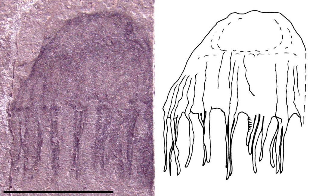 Preserved Jellyfishes from the Middle Cambrian