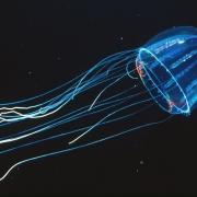 Lizard-tail Jellyfish (Colobonema sericeum)