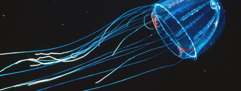 Lizard-tail Jellyfish (Colobonema sericeum)