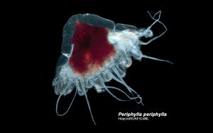 Santa Hat Jellyfish or Helmet Jellyfish (Periphylla periphylla)