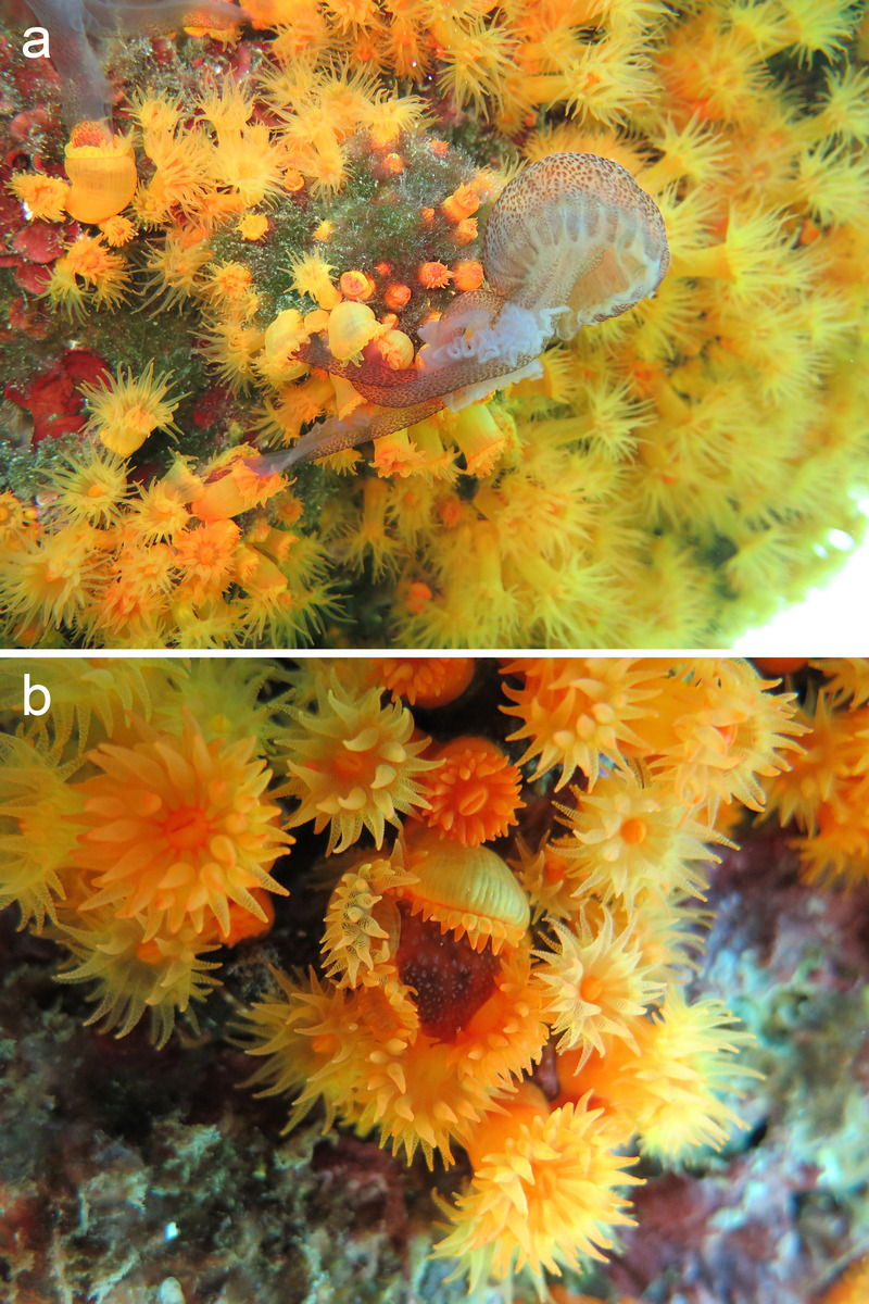 Orange Cup Coral Eating Jellyfish